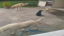 Başı Boş Gezen Köpekler Balkonları Ele Geçirdi